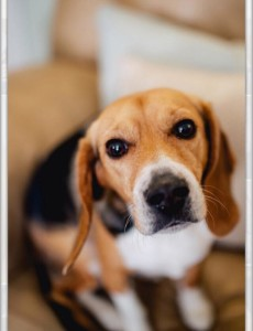 Ellie Beagle